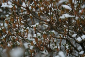 A shrub dusted in snow